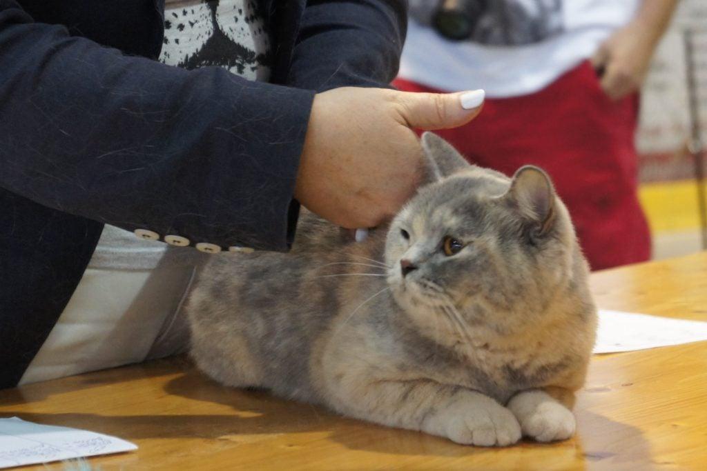 Międzynarodowa Wystawa Kotów Rasowych Boskovice (Czechy) 13-14.08.2016r