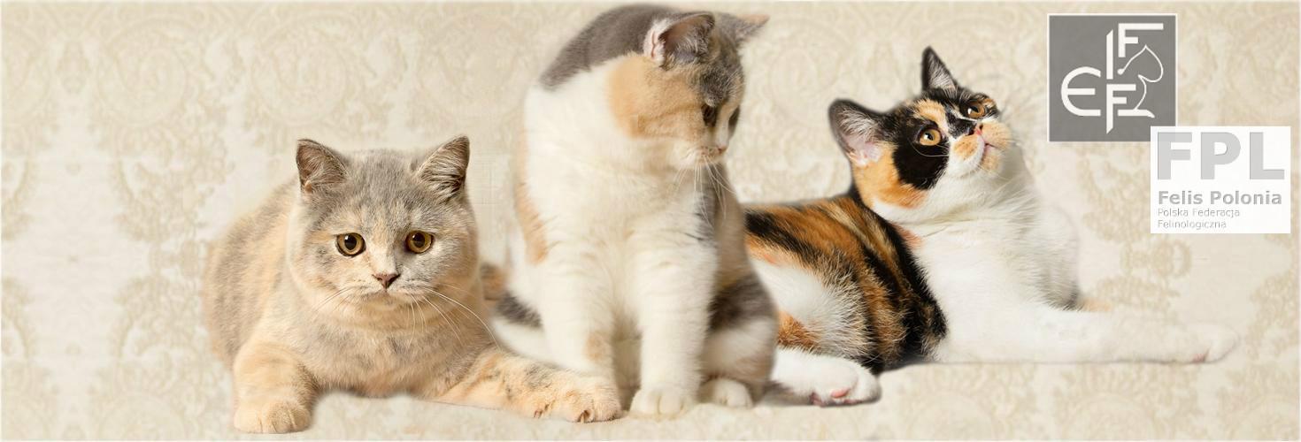 Hodowla Kotów Brytyjskich Krótkowłosych Kitty Garden*PL