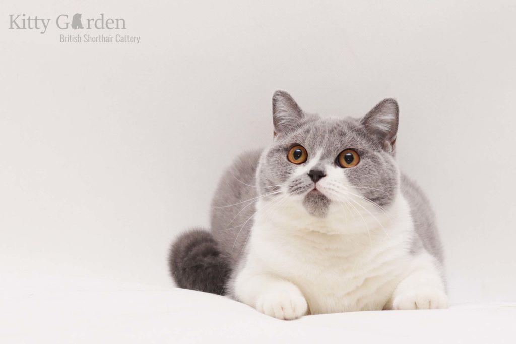 hodowla kotów brytyjskich wrocław