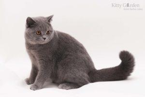 kot brytyjski niebieski