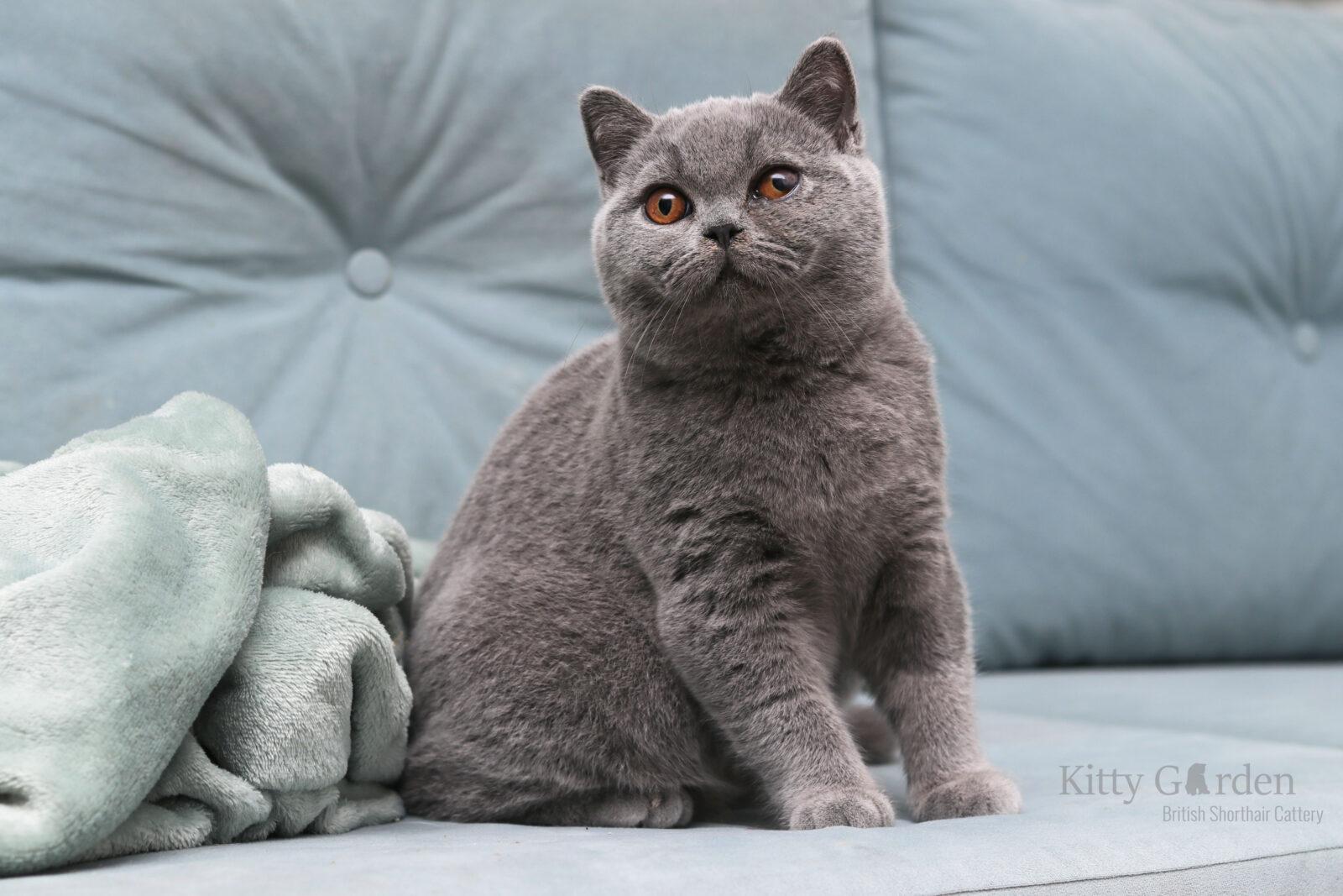 koty brytyjskie niebieskie