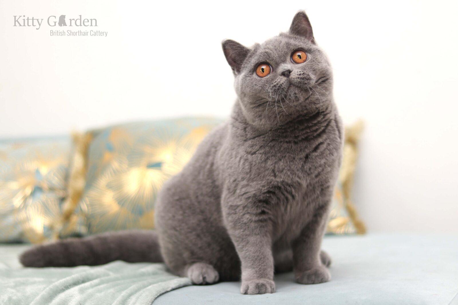 kot brytyjski niebieski hodowla